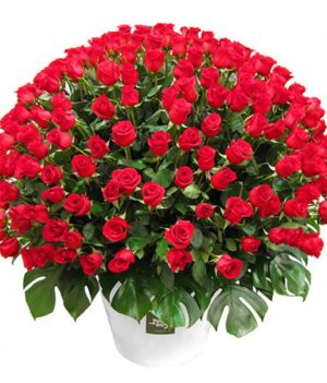Red Roses 100 Bouquet